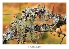 Old Man's Beard! (Paul_Wheeler) Tags: old man macro tree closeup beard growth mans lichen birch growing dartmoor usnea