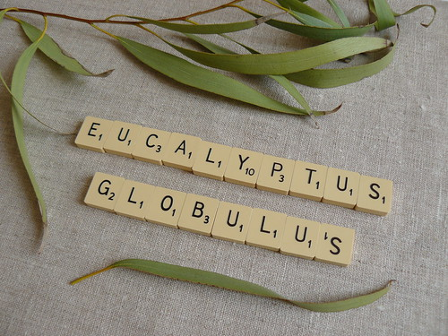 dyeing with plants // eucalyptus globulus // spelling