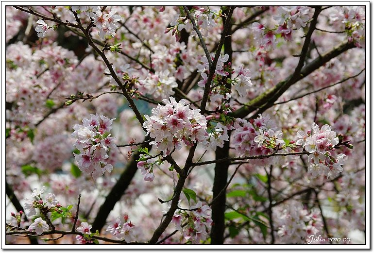 天元宮,櫻花 (4)