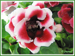 Sinningia speciosa (Florist's Gloxinia, Brazalian Gloxinia) - bicoloured double flowers