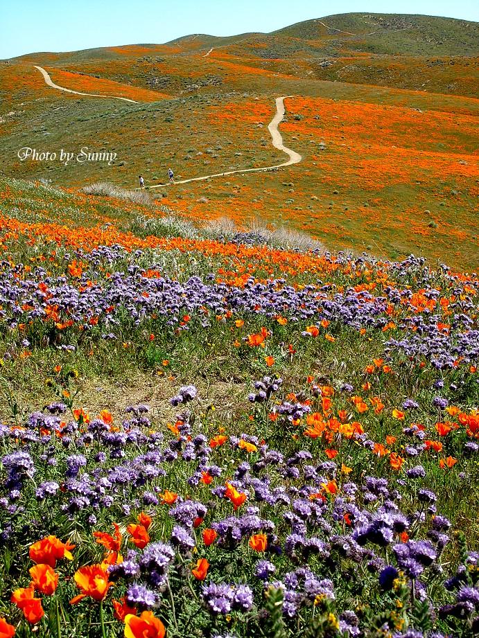 Antelope Valley California Poppy Reserve 2004