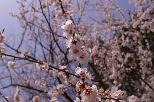 もう桜が咲いてる?