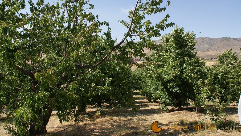 Best Photos 2 Share Cherry Picking In Leona Valley