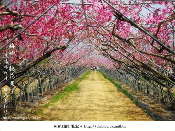 【梅峰農場桃花緣】最美的桃花隧道,就在南投梅峰這裡~(上)15