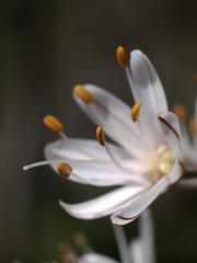 (rubioz) Tags: flower macro primavera 50mm spring raw flor olympus processing polen 17 ml yashica manualfocus lightroom e510 uro