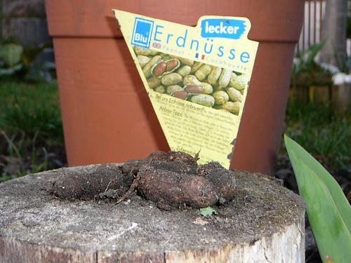 Erdnüsse aus dem letzten Jahr (01)