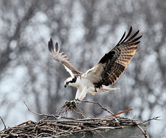 Osprey - Hunter Gatherer (JKissnHug - Been busy birding) Tags: bird michigan milford kensington osprey fishhawk kensingtonmetropark huronclintonmetroparks