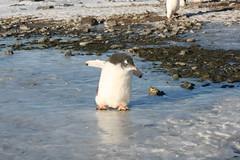 Antarctic Peninsula, March 2010 (samthetax) Tags: penguins slippery antarcticpeninsula gentoopenguins brownbluff