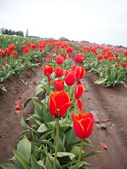 100_1181 (Smith's are Ore-Gone!) Tags: festival tulip