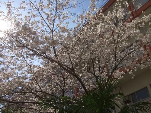 まだ残る桜に見事な青空。深謝。