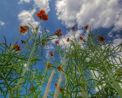 What's Under Your Mexican Hat? ~ oscote365 212 (Don J Schulte) Tags: sky up clouds spring texas native pad hats mexican tall wildflowers 365 wildflower hdr 2011 oscote oscote365