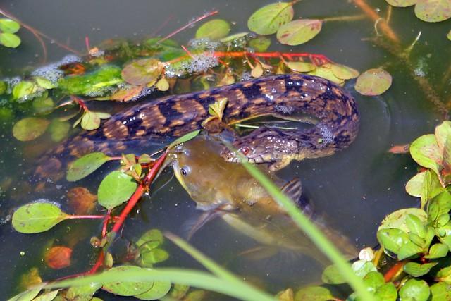 snake fish 3