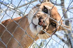 Bear Creek Feline Center (Karsun Designs Photography) Tags: feline lynx bigcats serval mountainlion floridapanther