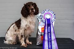 07/52 ZigZag 2017 (Flemming Andersen) Tags: ftcockerspainel 52weeksfordogs animal nosework outdoor spaniel winner zigzag dog hund