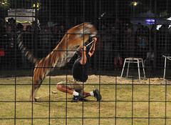 Jumpin' Tiger (Birdman of El Paso) Tags: texas tx tiger joe el lila paso birdman jumpin soop grossinger
