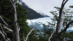Moreno Glacier Through the Trees