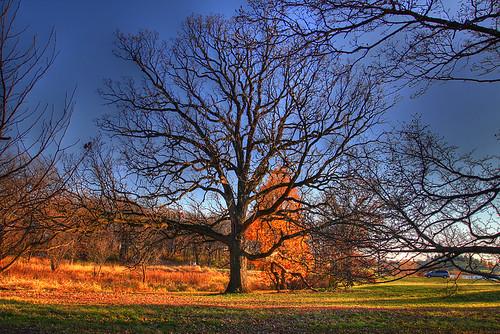 Bur Oak at Morton Arboretum in HDR