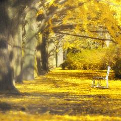BEAUTIFUL DAY (ajpscs) Tags: park autumn yellow japan bench season japanese tokyo nikon  nippon  ginkgobiloba  gingko d300 ginnan  showakinenkoen  ajpscs  ich