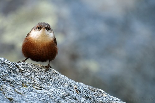 Canyon wren 120912071