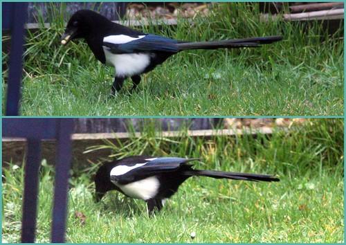 Magpie Burying Suet Pellets