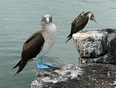 Blue-footed Boobies (SamSpade...) Tags: blue birds canon ecuador feathers galapagos booby sulidae footed 266 sulanebouxii 3685 abigfave concordians
