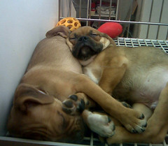 cute puppies! (Jenna Walmer) Tags: dog love beagle dogs face is puppies little human pugs society those smushy puggle