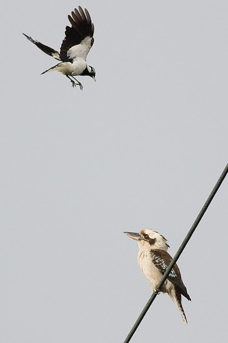 Kookaburra and Peewee