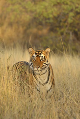ADS_000006737 (dickysingh) Tags: wild portrait india cat outdoor wildlife tiger bigcat aditya ranthambore singh ranthambhore dicky adityasingh ranthamborebagh theranthambhorebagh wwwranthambhorecom