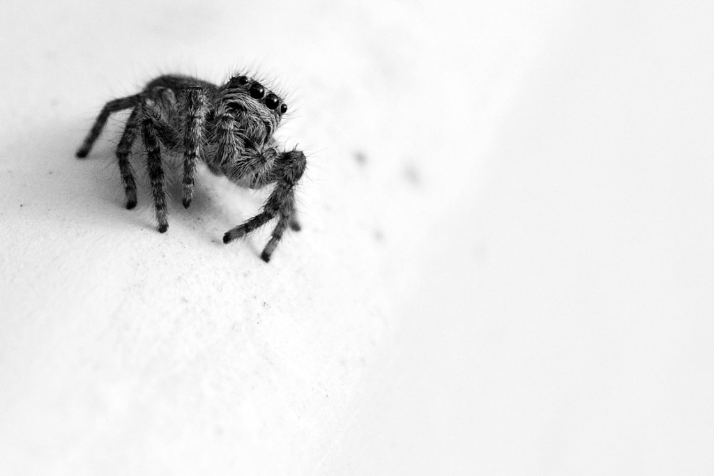 Salticidae #4