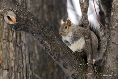 Grey Squirrel (Ron Hay) Tags: quebec aylmer gerhard birdcount christmasbirdcount2009