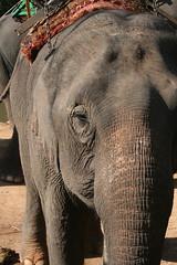 Feeding Time (taipeimichael) Tags: chiangrai hilltribe elephanttrekthailand2009