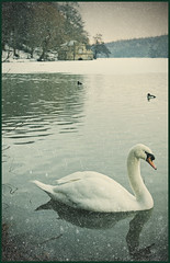 swan in vintage (matthewheptinstall) Tags: winter lake snow reflection film nature water vintage swan pond ducks retro 70s textured newmillerdam alienskin nd4 winterlake filmeffect vanagram