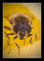 Bug-eyed (JKmedia) Tags: game flower macro yellow closeup insect fly spring furry legs bokeh extreme fluffy pre winner curious hover inyourface bugeyed sanctury supershot manyeyes canoneos40d 15challengeswinner jkmedia pregamewinner pregamesweepwinner macroinnature