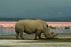 Rhino and flamingos (Tobi Roaming Africa) Tags: nationalpark kenya flamingos rhino nakuru whiterhino lakenakuru lesserflamingos