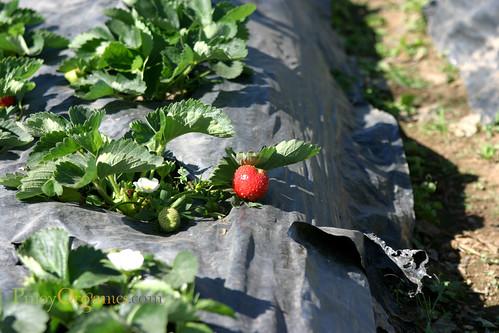 strawberry up close