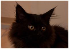Emely II (die Nase überall d`rin) (Paul Schulz 90) Tags: cat paul saxony maine coon katze chemnitz schulz waldkatze emely norwegische pp1502