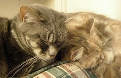 Naptime (Just_Amy) Tags: cats cat penelope tabby gray tortoiseshell dilute salome amydavis