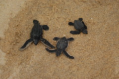 sea turtle hatchlings (ABC Dolphin Trainer Academy) Tags: black mexico turtle olive ridley leatherbackseaturtle