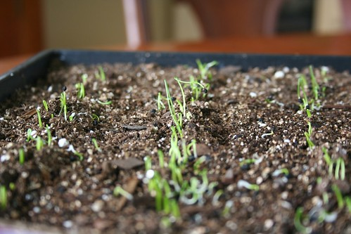 Leek seedlings, 1 week