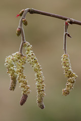 Hazel Catkins - uncorrected (steb1) Tags: flowers tree hazel catkins corylus avellana