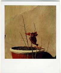 Christmas Survivor (almogaver) Tags: film analog polaroid sx70 artistic instant catalunya 70 tz portbou sx almogaver tzartistic theimpossibleproject davidroca