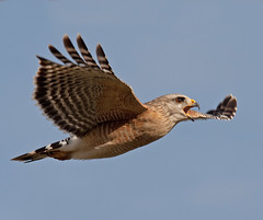 Red Shouldered Hawk In Flight Calling Everglades National Park (kevansunderland) Tags: hawk ngc raptor everglades evergladesnationalpark redshoulderedhawk birdinflight floridawildlife redshoulder birdphotography floridabirds