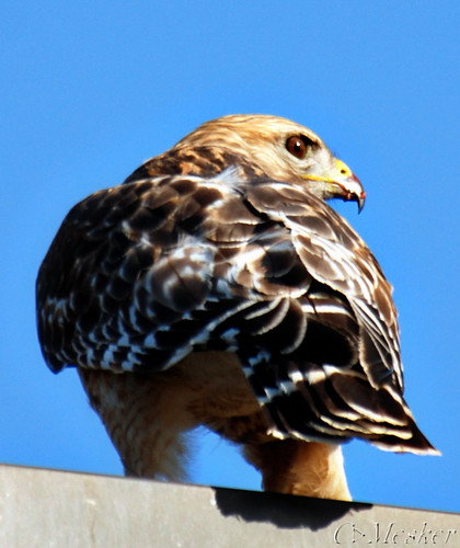 Red Shouldered Hawk II