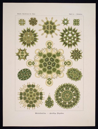 //Melethallia,// Ernst Haeckel, Kunstformen der Natur. Chromolithograph 32 x 40 cm, Verlag des Bibliographischen Instituts, Leipzig 1899-1904. Photograph by D Dunlop.
