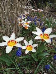 Tulipa Muscari