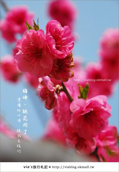 【梅峰農場桃花緣】最美的桃花隧道,就在南投梅峰這裡~(上)37
