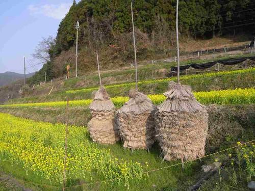 桜・菜の花・積み藁。明日香村の春の風景