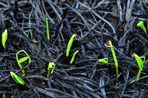 New Growth Sprouting Up Through the Ashes of the Spring Prairie Burn