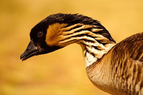 Nēnē (aka Hawaiian Goose)