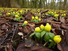 Winter Aconites (britchickphoto) Tags: flowers winter wild yellow woodland lumix woods panasonic february wildflower 2010 feb10 aconite aconites tz7 zs3 britchickphoto
